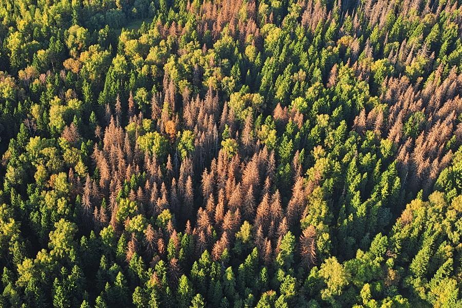 Ураження соснових насаджень верхівковим короїдом призводить до всихання дерев / фото chernigivlis.gov.ua