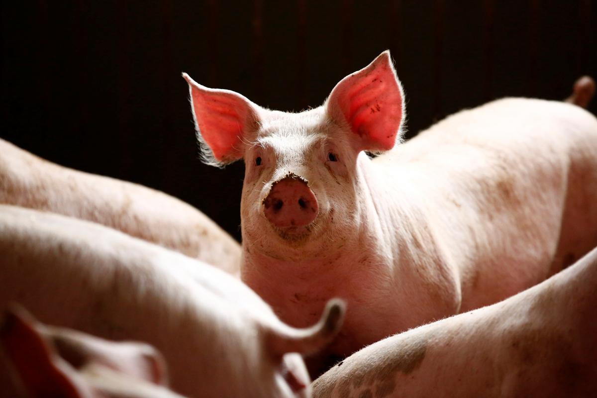 Свиньи помогут медикам лечить людей с ожогами / Иллюстрация REUTERS