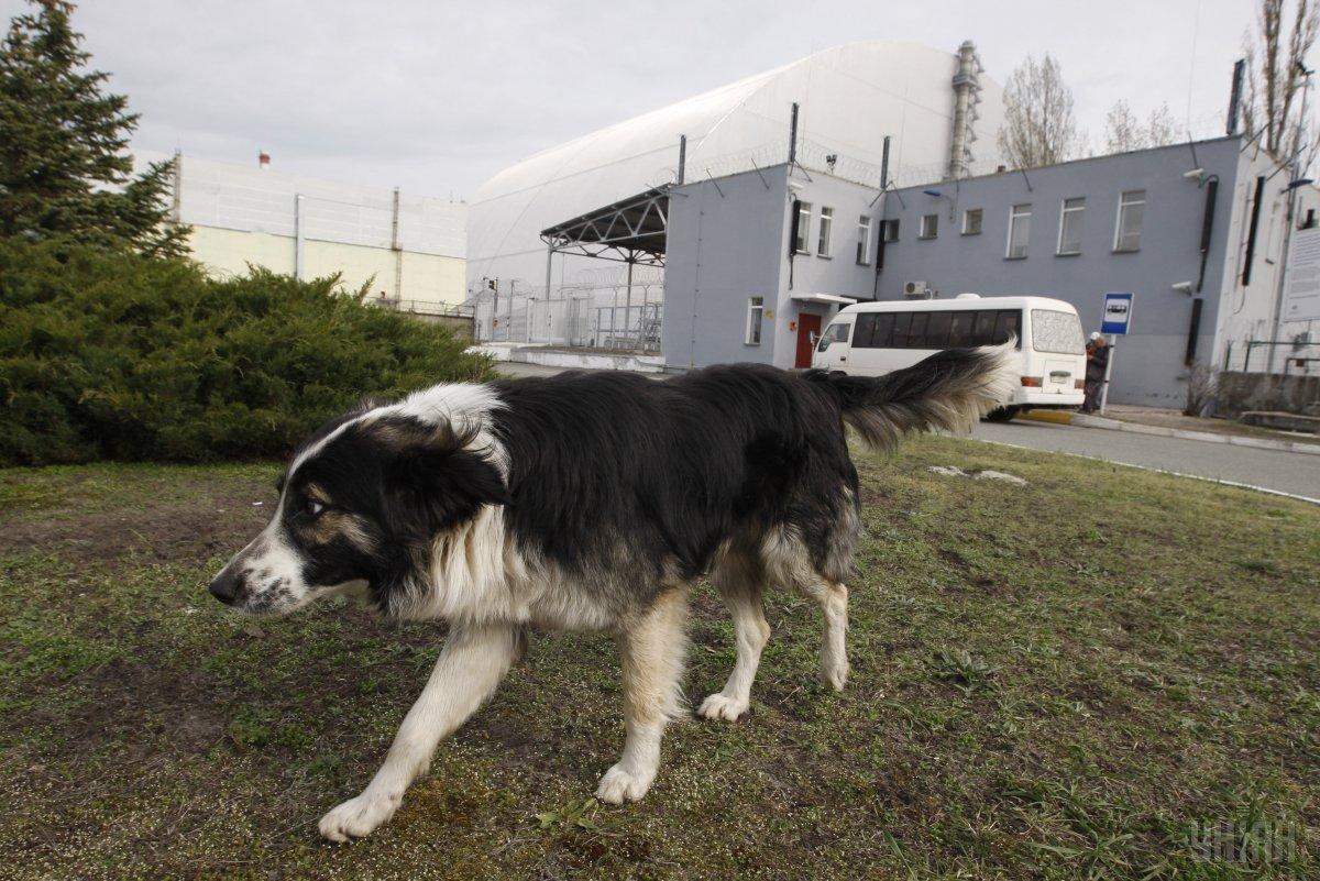 Часто жертвами чернобыльских волков становятся домашние питомцы/ фото УНИАН