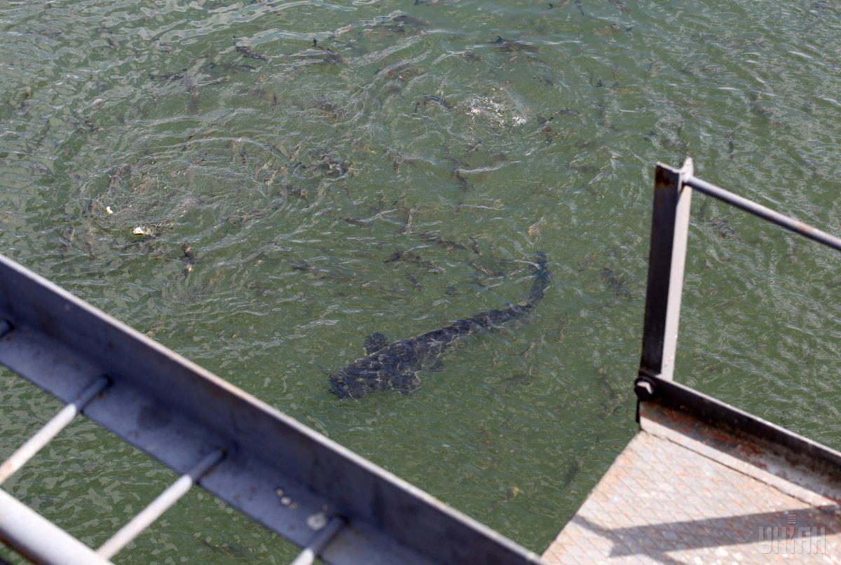 Сомы в охладительном канале ЧАЭС / фото УНИАН