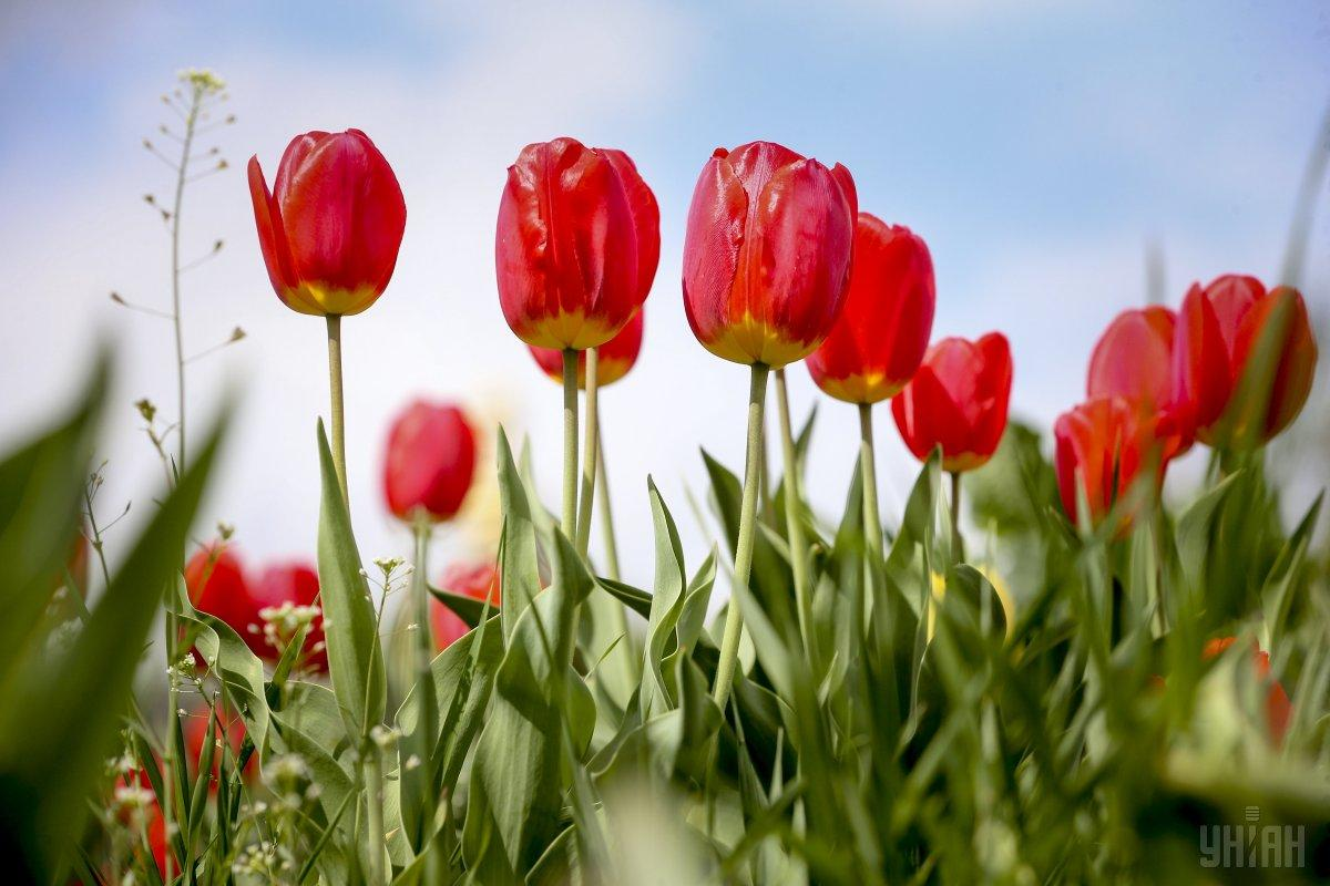 A description of the tulip. in Ukrainian urgently