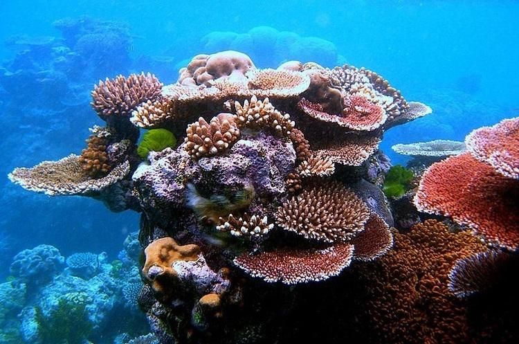 Австралия выделит полмиллиарда долларов на спасение Большого Барьерного рифа / фото Wikipedia