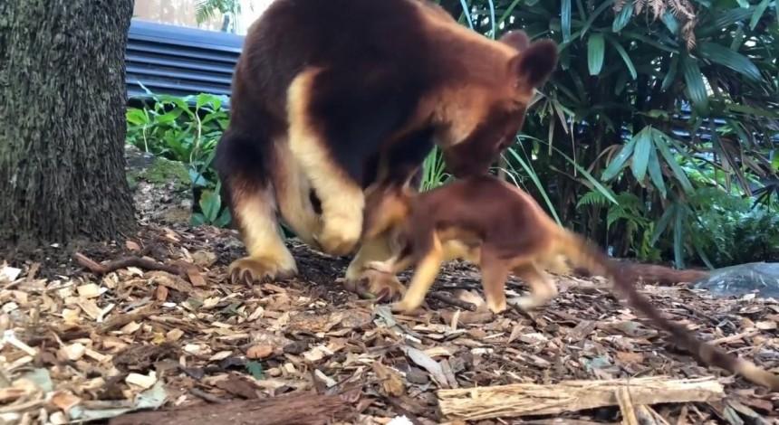 Зоопарк показал первые шаги редкого древесного кенгуру (видео)
