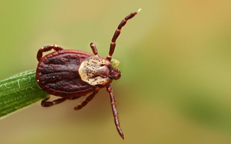 На Волыни зарегистрирован случай клещевого вирусного энцефалита / фото pixabay.com