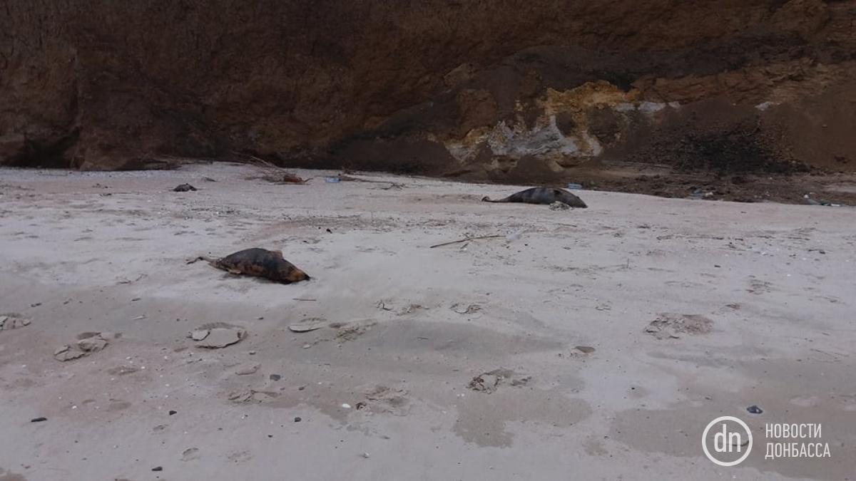 На узбережжі Азовського моря біля села Рибальське під Маріуполем знайдені мертві дельфіни / фото Новости Донбасса