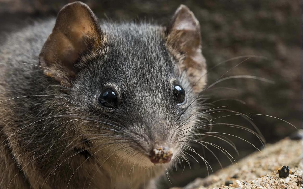 Два вида сумчатых мышей внели в список вымирающих видов / Gary Cranitch, Queensland Museum