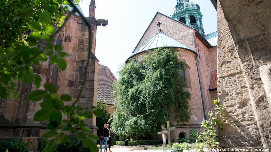 Старейшая роза на планете была посажен семь столетий назад на территории Собора Вознесения Святой Марии / dw.com