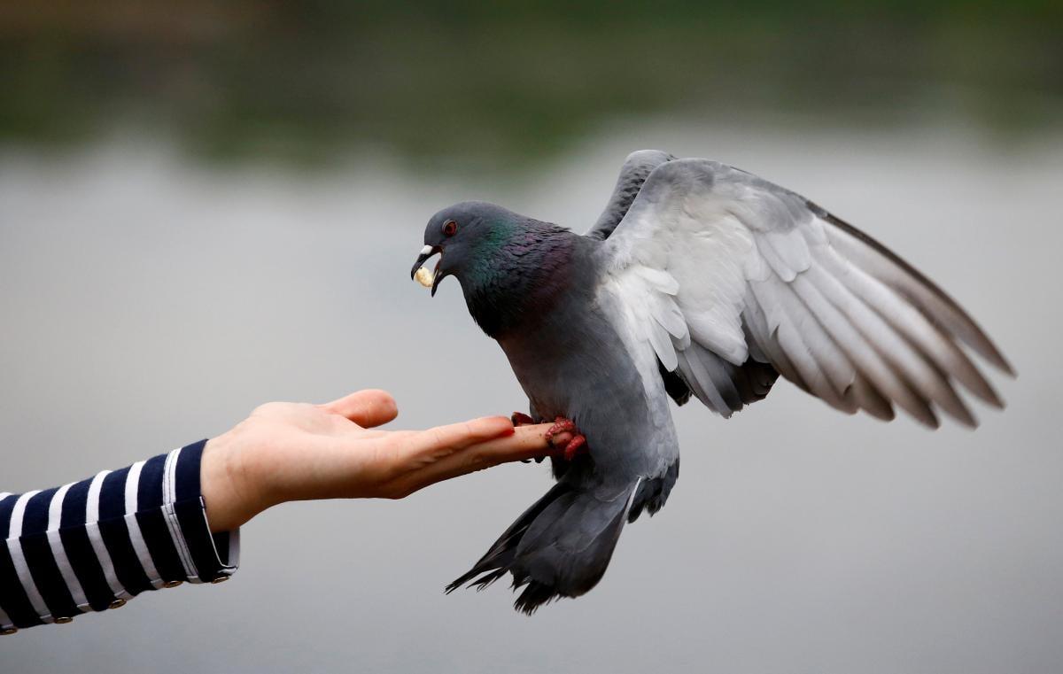 Лучше всего зарекомендовали себя голуби-шпионы / REUTERS