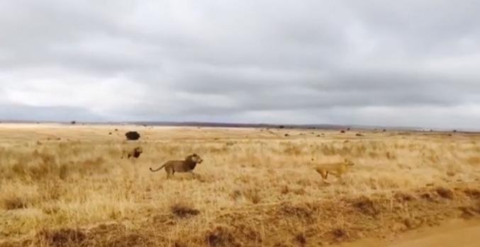 Львы защищали свою территорию от чужих львов \ скриншот