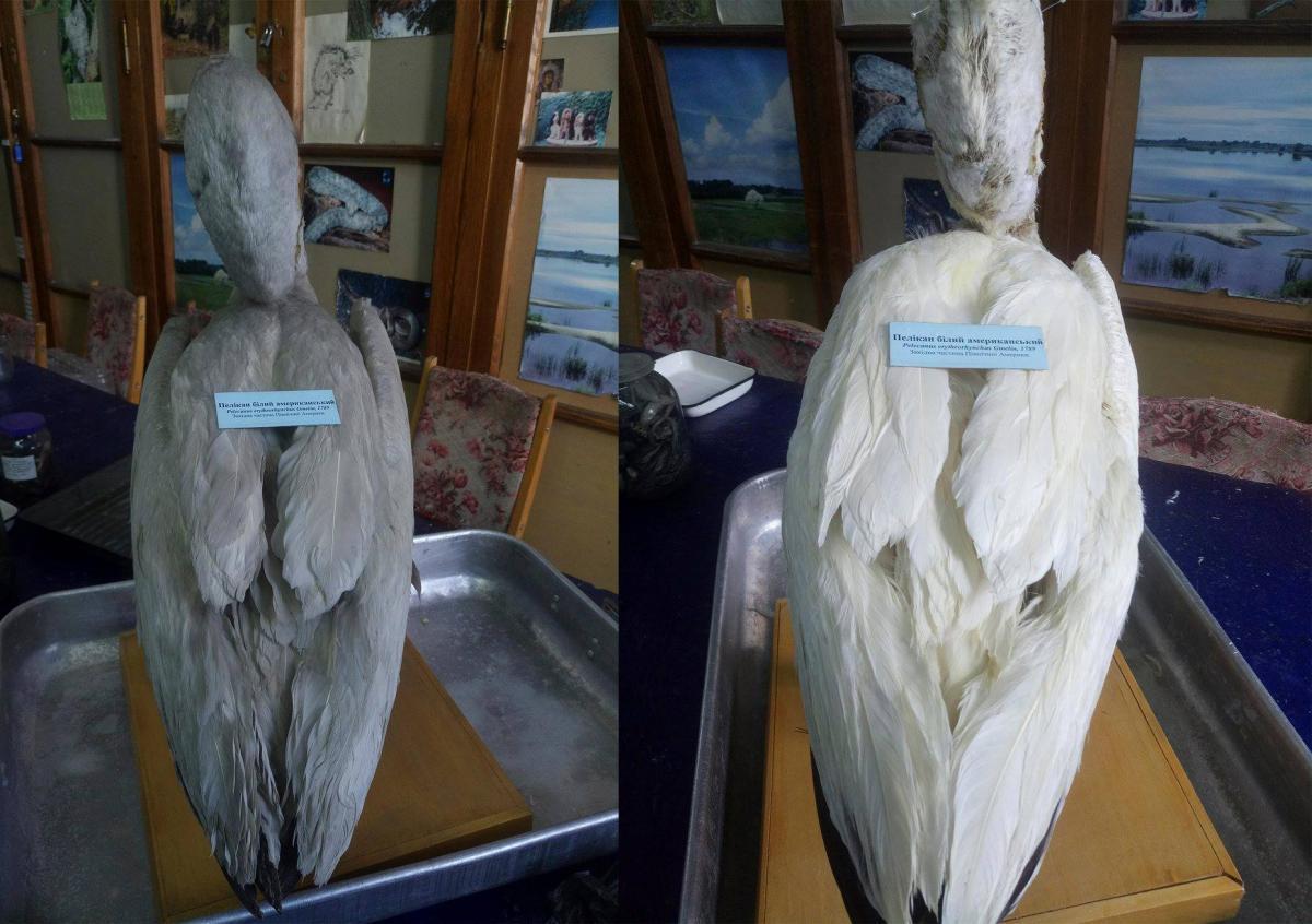 Из пеликана выпала этикетка-послание из прошлого / фото facebook.com/NationalMuseumofNaturalHistoryKyiv