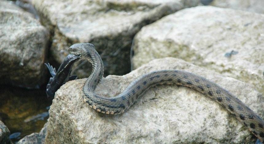 Перед святковими пікніками харківські серпентологи попросили громадян не вбивати змій