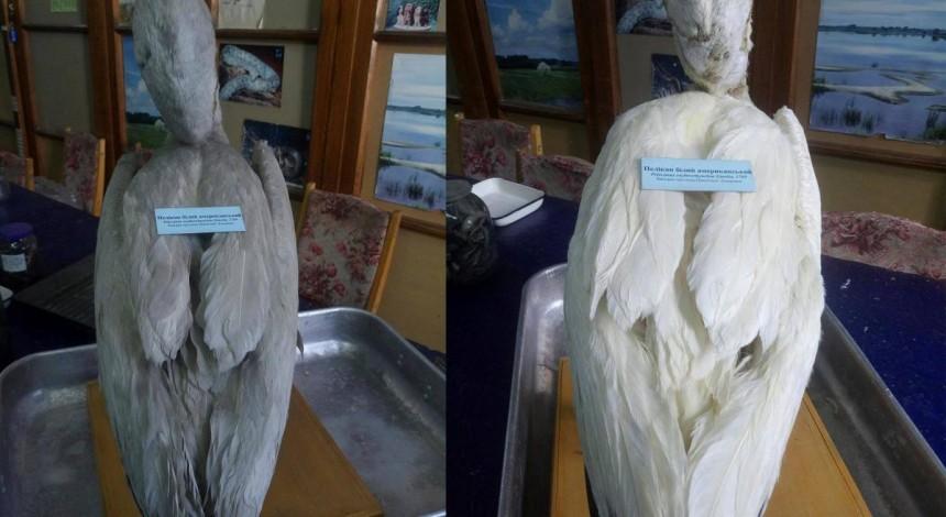 Тайна пернатого экспоната раскрыта: в музее Киева в чучеле пеликана нашли записку 1845 года (фото)