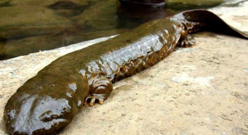 Ісполинська саламандра опинилася на межі повного вимирання