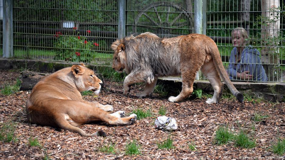 Львы в Айфельському зоопарка / фото dpa
