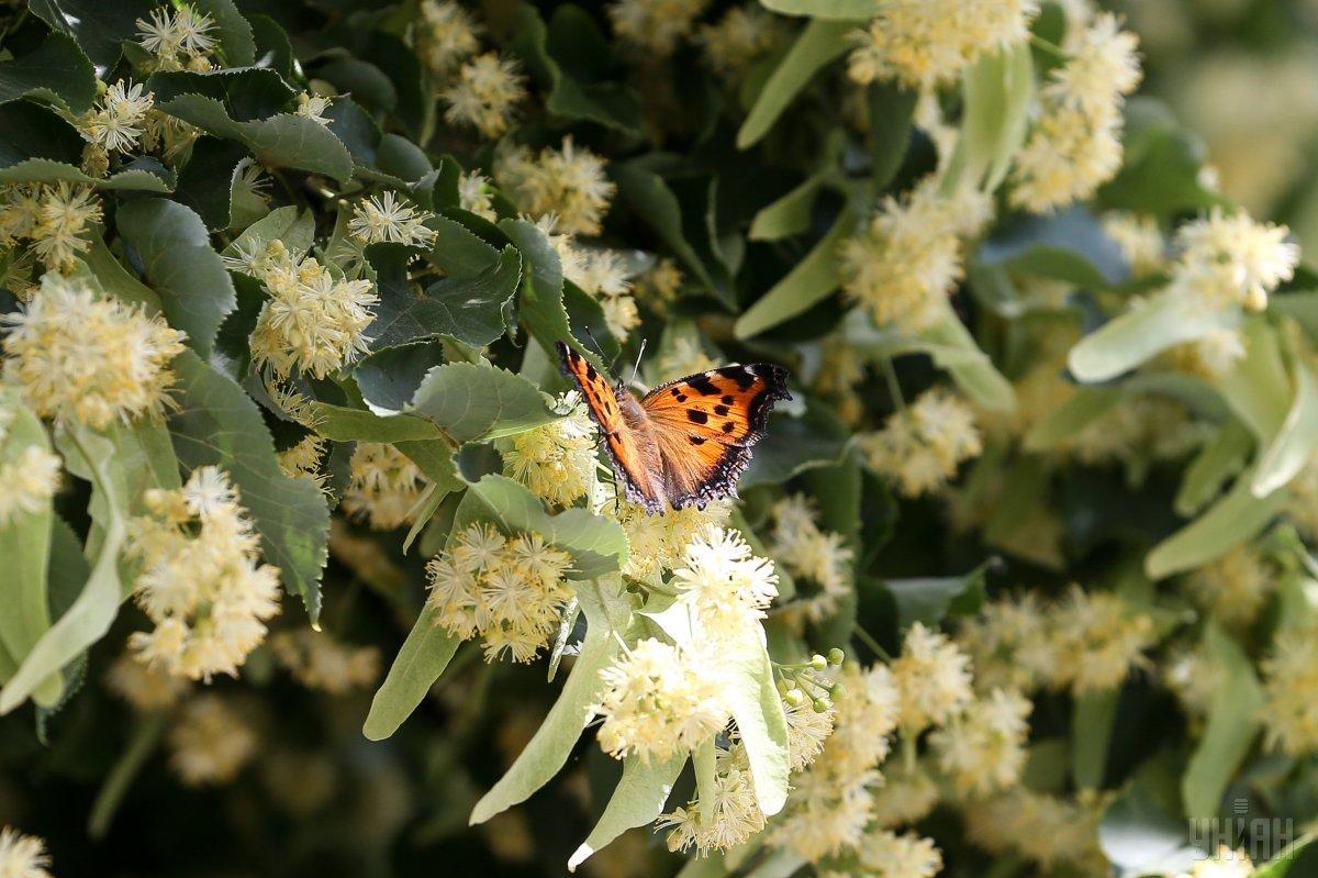 Київ заполонили сотні метеликів / фото УНІАН