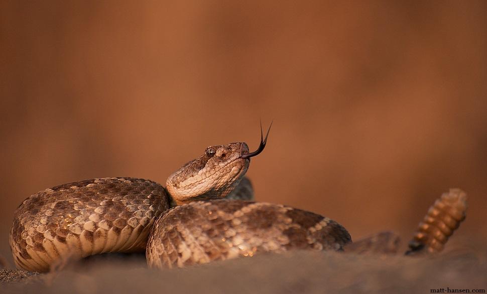Жителя Америки укусила отрубленная голова гремучей змеи