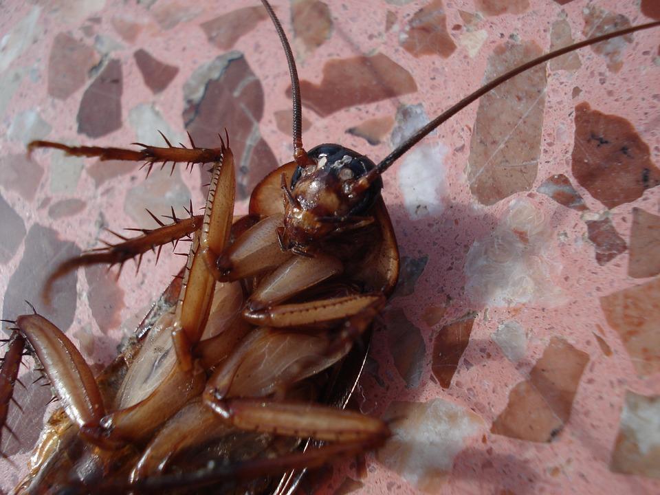 Ученые рассказали, почему тараканы так облюбовали уши людей / фото pixabay.com