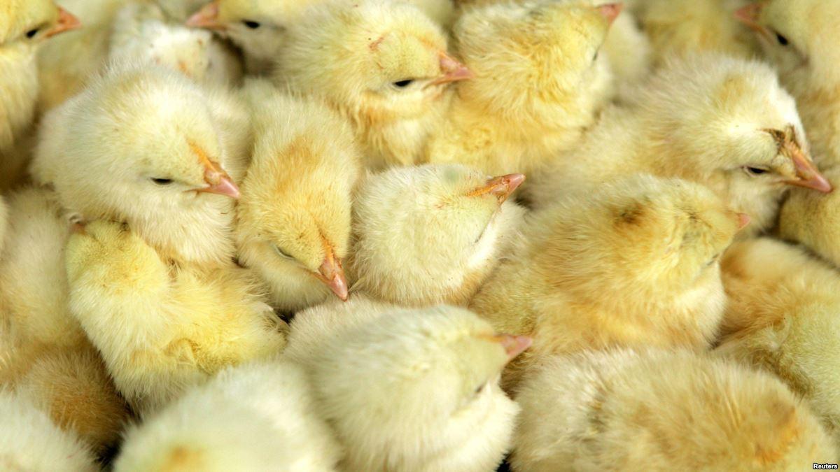В Дании решили уничтожить 25 тысяч цыплят / Иллюстрация REUTERS