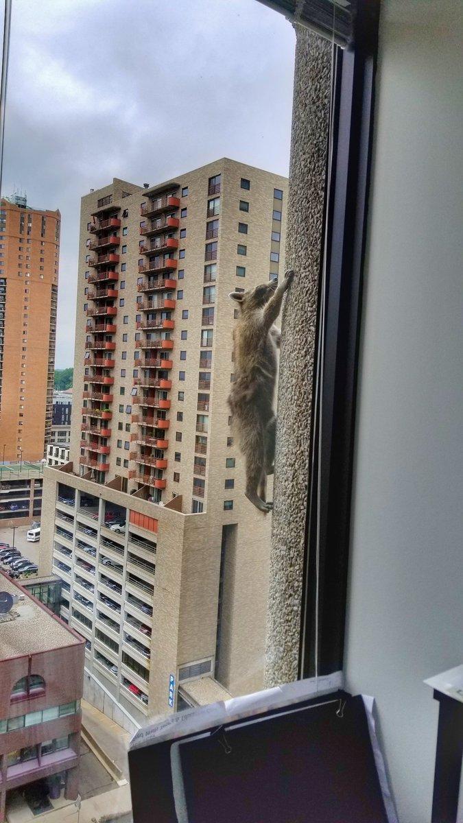 За долею єнота стежила вся Америка / фото twitter.com/Johnson88Ben