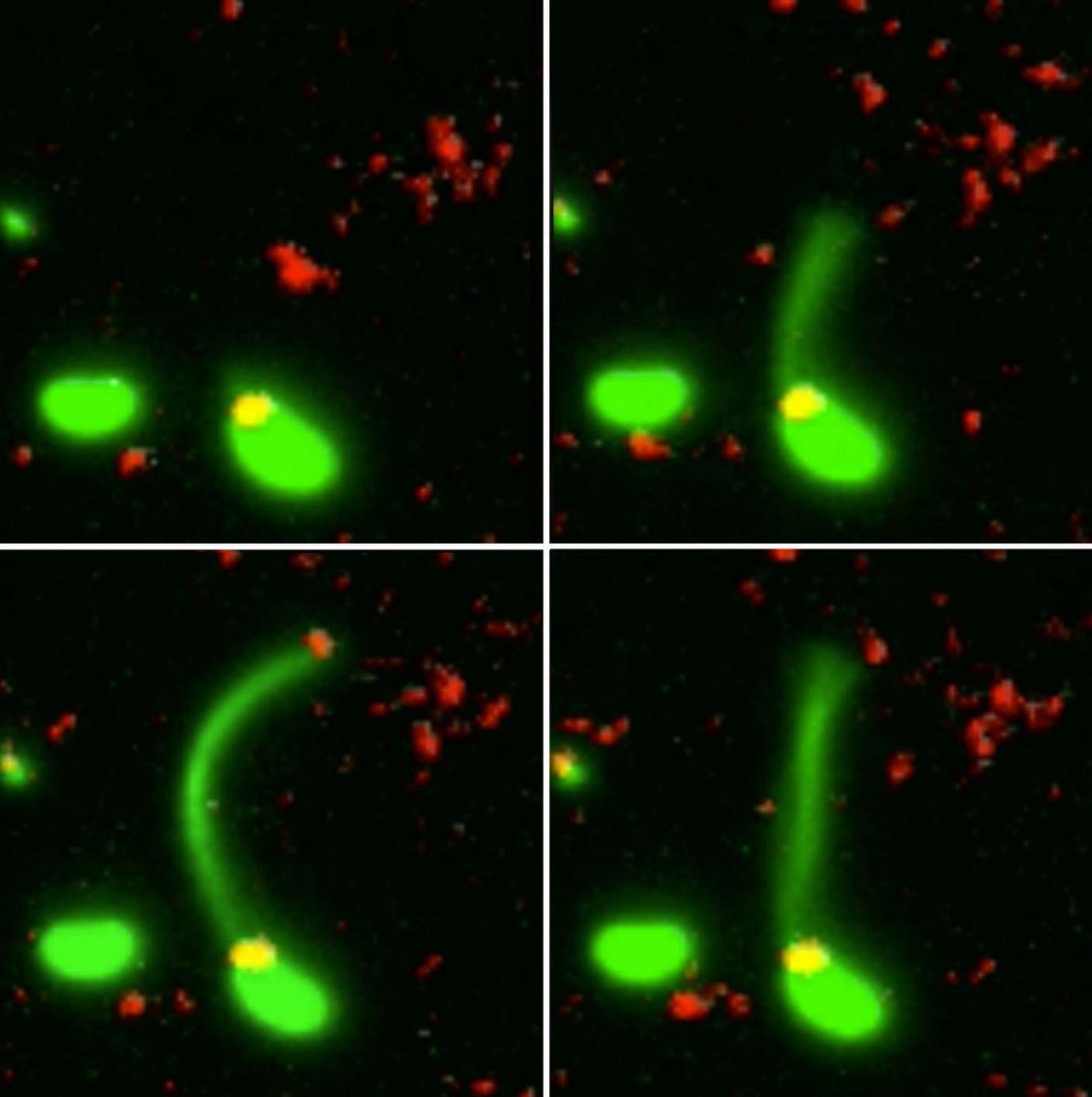 На окремих кадрах видно, як клітина витягає пили і, захопивши фрагмент ДНК, втягує його всередину / фото Ankur Dalia, Indiana University