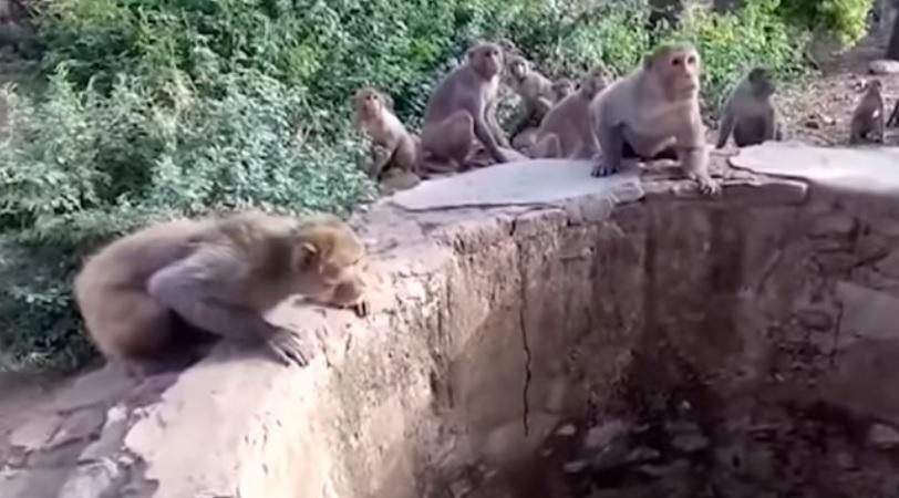 Обезьяны заметили в колодце леопарда / Скриншот видео ТСН
