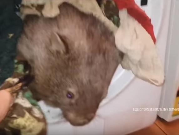 Вомбат стрибнув у пральну машинку / Скріншот відео ТСН