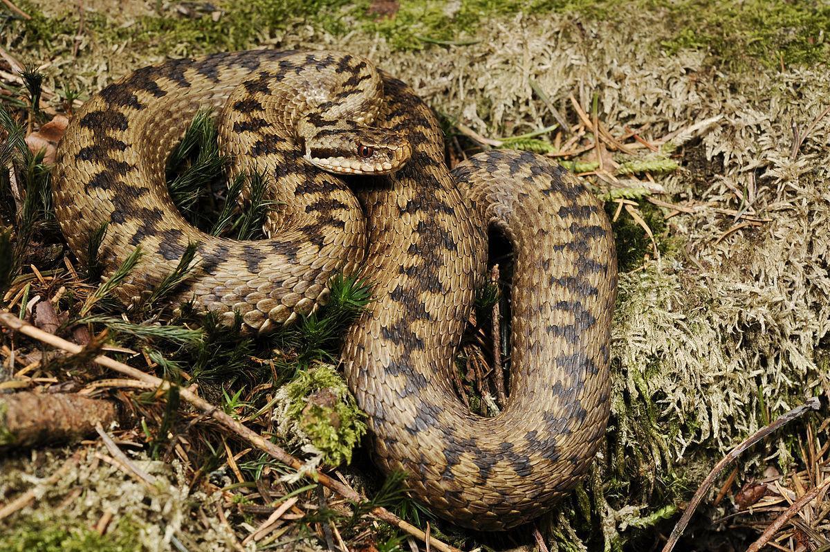 З отруйних в Саудівській Аравії живуть переважно змії сімейства гадюкові / фото УНІАН