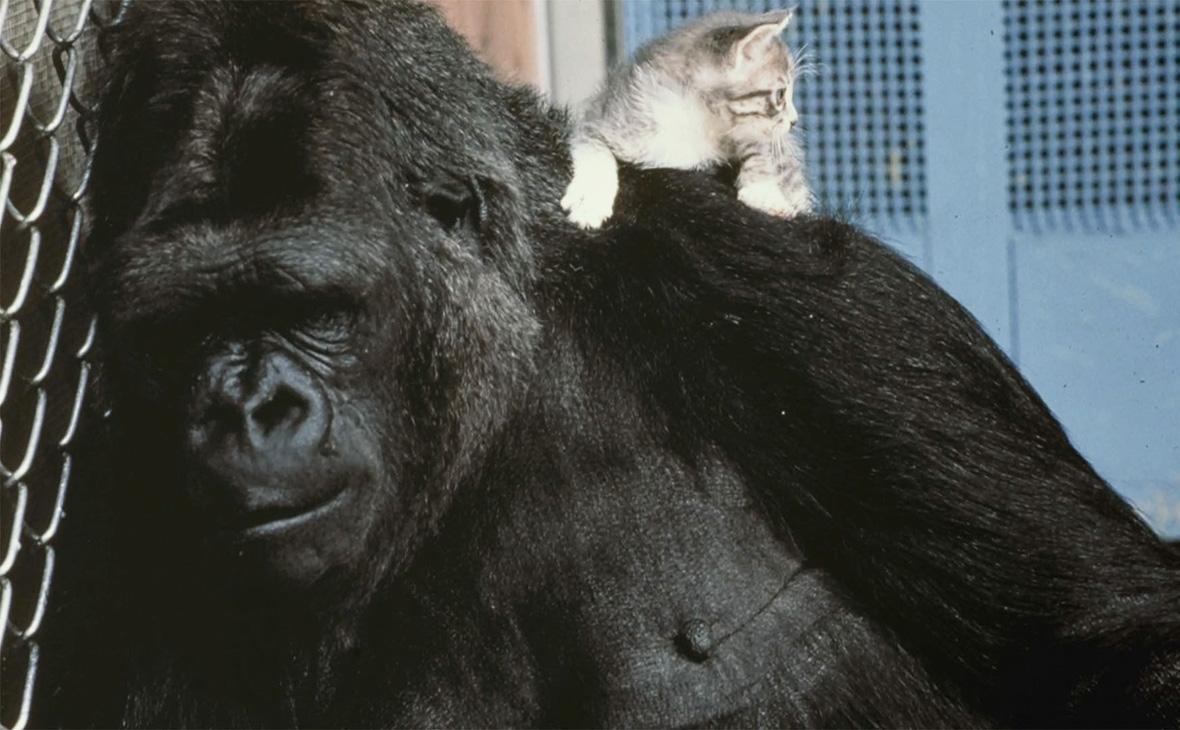 Коко владела языком глухонемых \ (Фото: Dr. Ronald H Cohen/ Gorilla Foundation