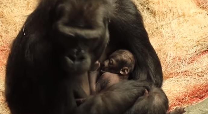 У звіринці неабияк раді народженню маляти / скріншот відео ТСН