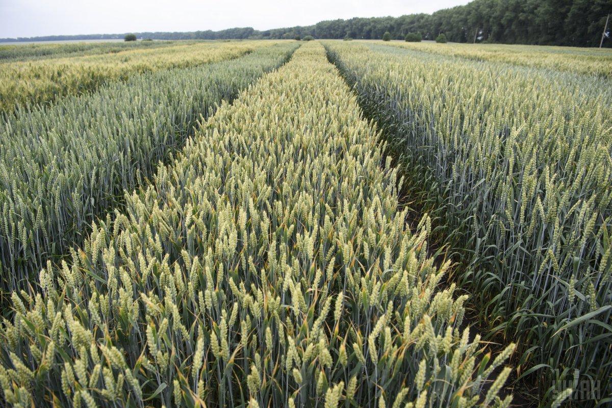Украина экспортировала 5,8 млн пшеницы на 1 млрд долл. / фото УНИАН