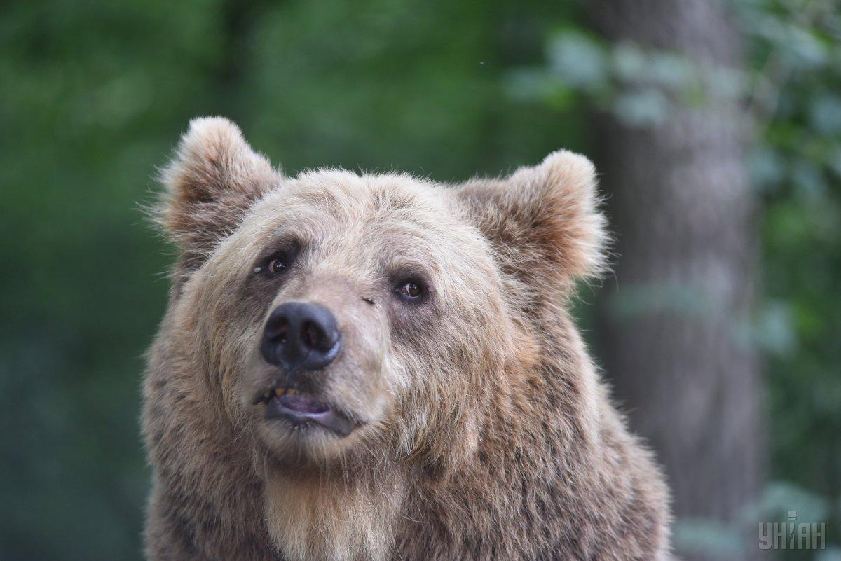 У реабілітаційному центрі перебувають сім ведмедів / УНІАН