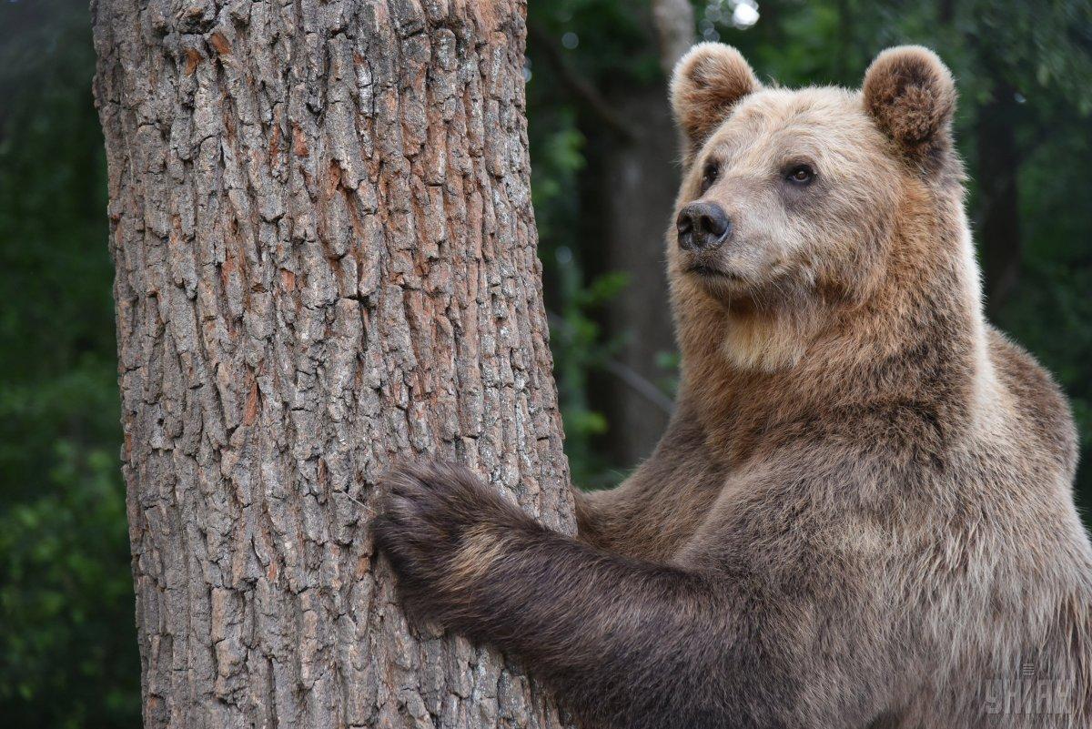Дикий ведмідь заліз добудинкуамериканця / Фото УНІАН