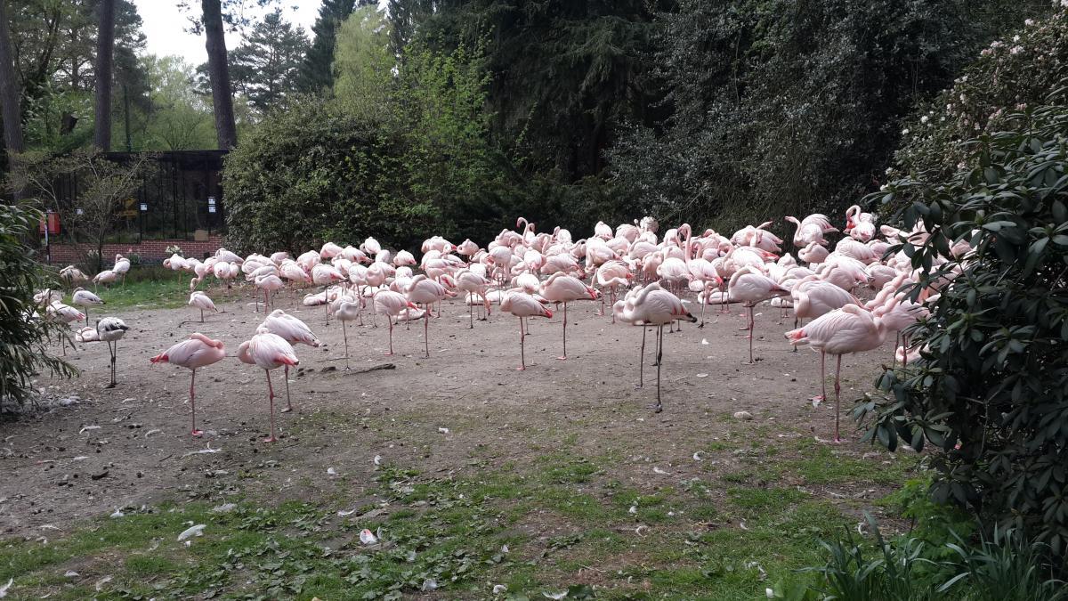 Вальсроде славится своей огромной колонией розовых фламинго / Фото Марина Григоренко