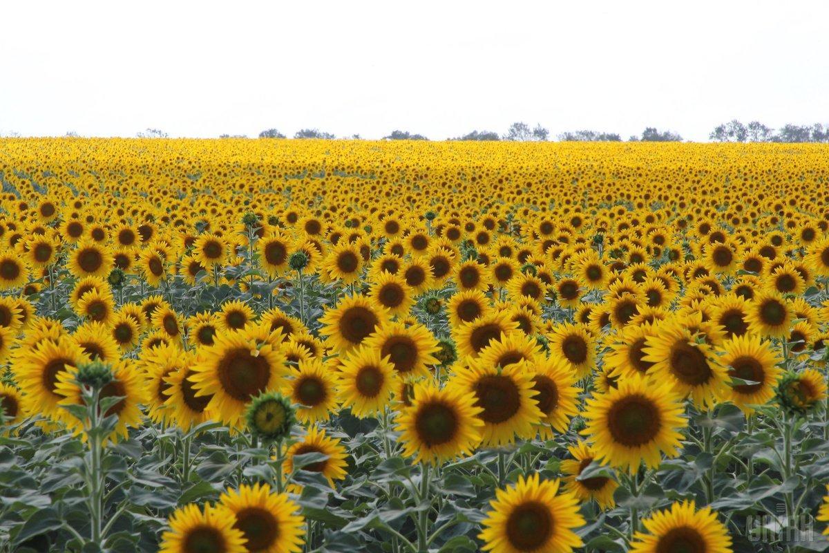 Больше всего выручки агрохолдингу обеспечили продажи подсолнечника и пшеницы / фото УНИАН