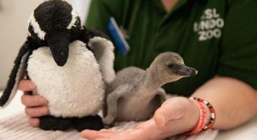 """В Лондонском зоопарке выходили """"недовысиженного"""" пингвиненка (видео)"""