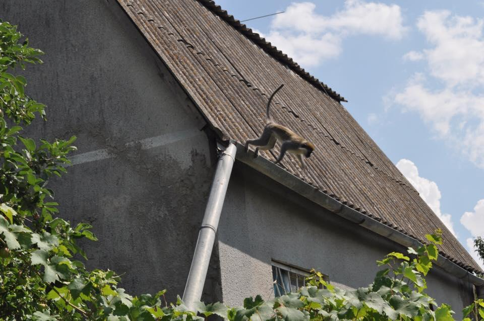 В Одесской области обезьяны терроризируют местных жителей / фото УНИАН