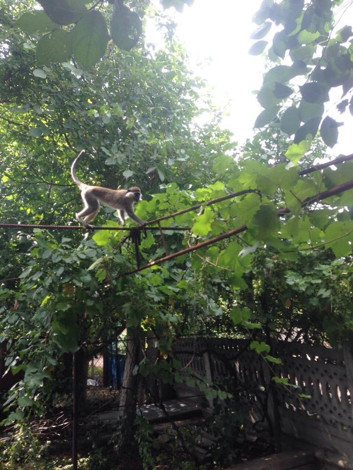 Обезьяны воруют фрукты с деревьев дачников и кидаются в людей орехами / фото УНИАН