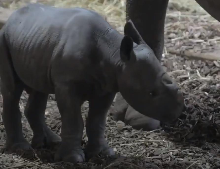 Первые шаги носорога смогли увидеть посетители зоопарка / скриншот
