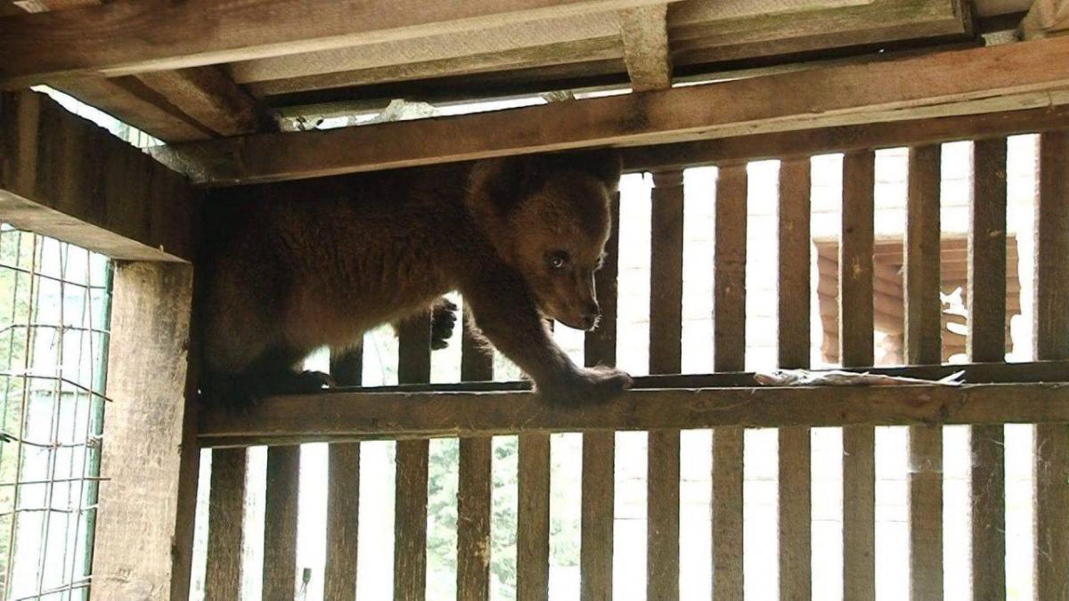 В центре реабилитации бурых медведей появился новый питомец-сирота / фото expres.ua