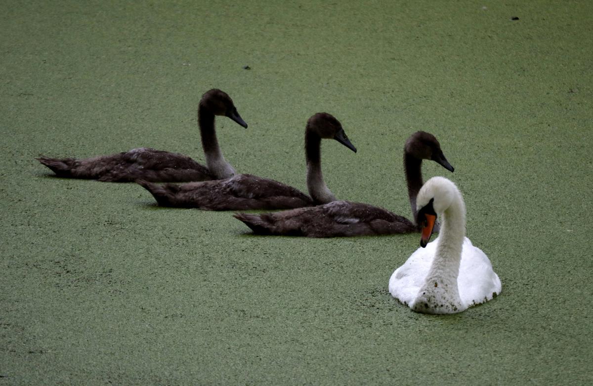 Лондонські лебеді теж потерпають / Фото REUTERS