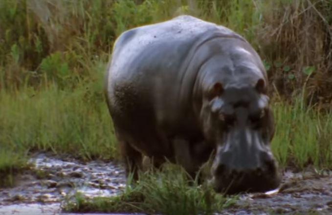В Танзании бегемоты убивают людей / Скриншот, Youtube - ZooPicture