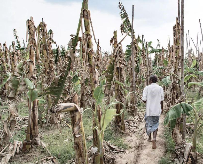 Засуха уничтожает урожай на юге Индии / FEDERICO BORELLA