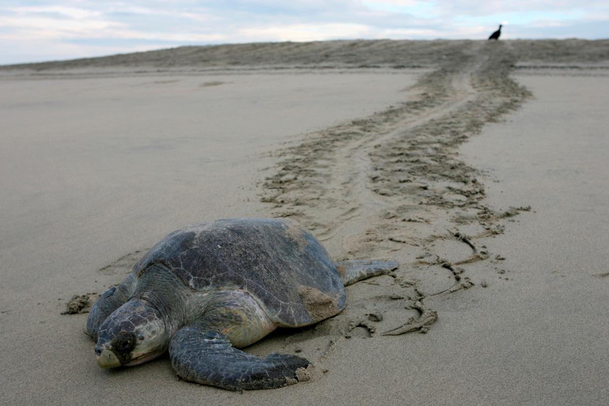 У Мексиці знайшли понад стомертвих оливкових черепах / Ілюстрація REUTERS