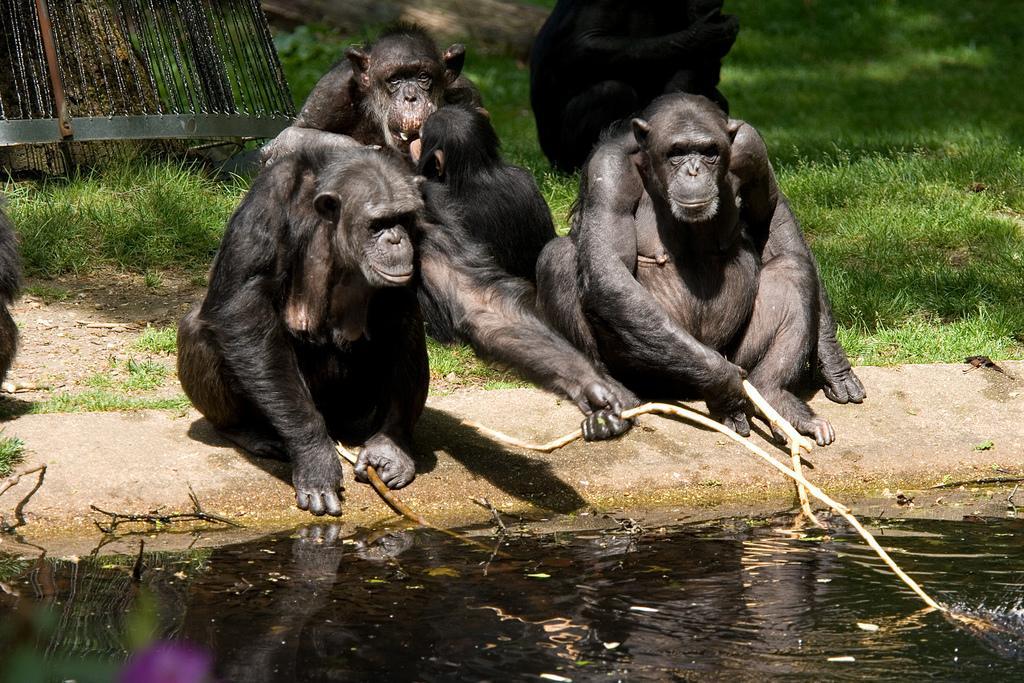 Шимпанзе догадались сделать из сломанной ветки