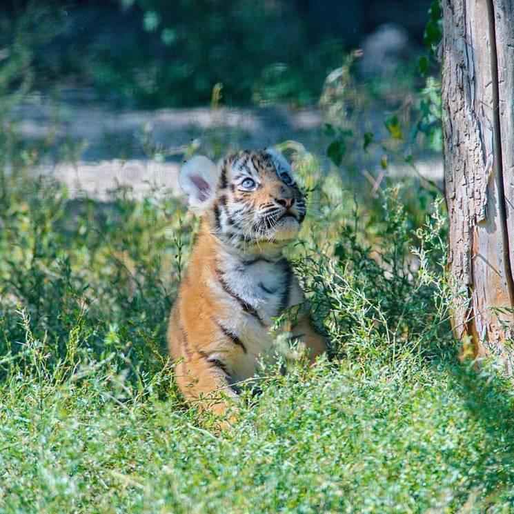 В дикой природе сохранились меньше тысячи особей амурских тигров / Depo.Харьков