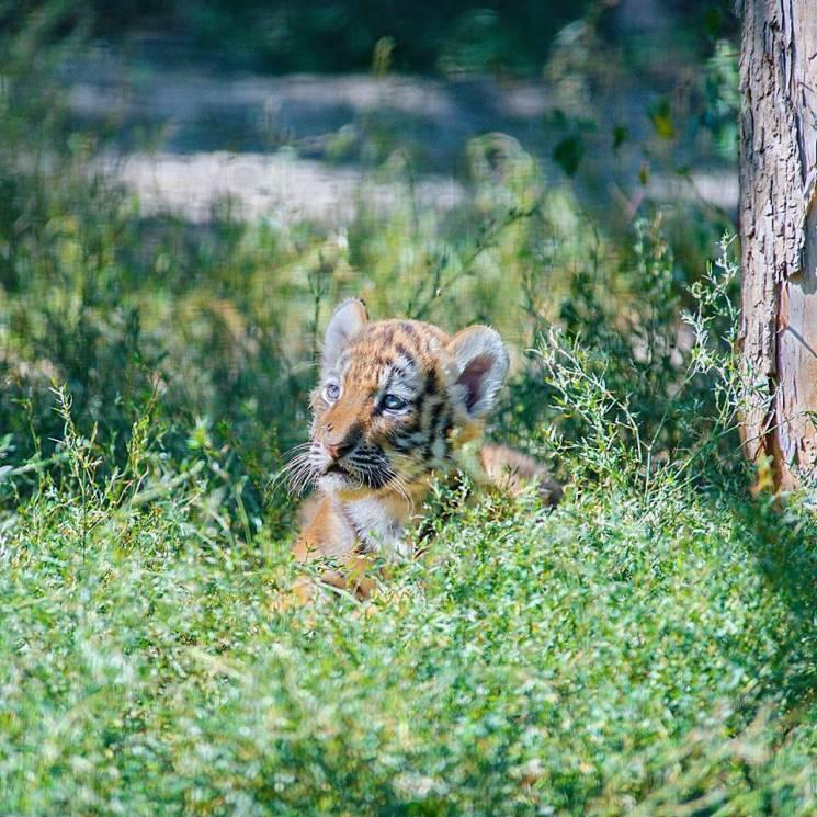 Амурский тигр - самый крупный по размерам и самый редкий подвид тигров / Depo.Харьков
