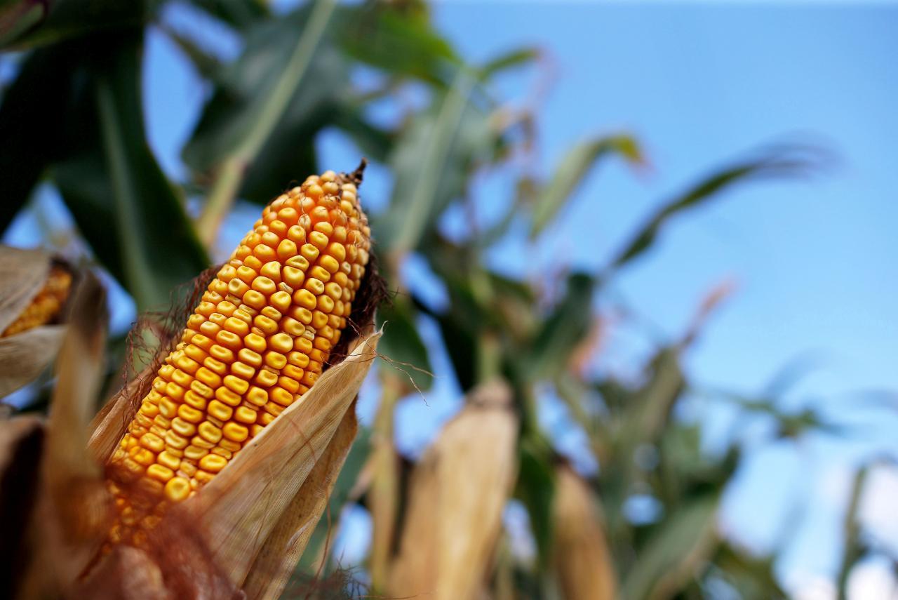 Минсельхоз США снизил прогноз урожая и экспорта украинской кукурузы / REUTERS
