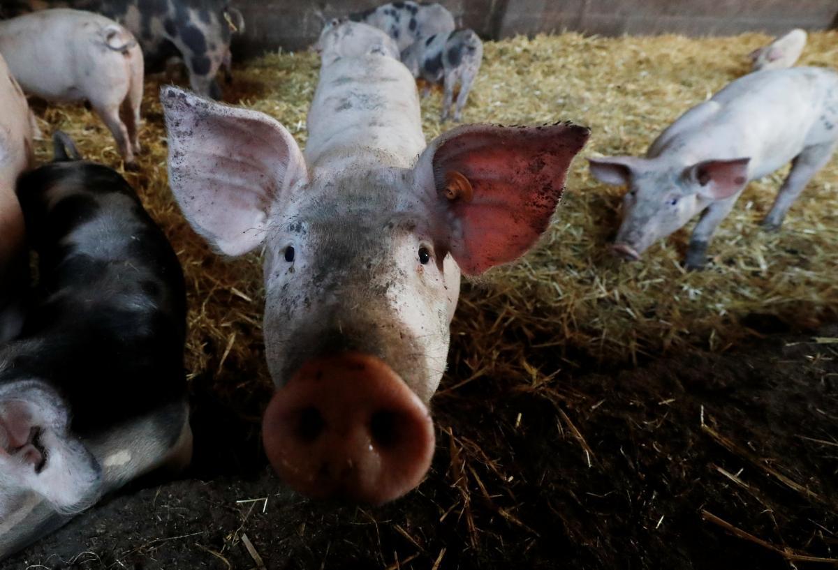 На ферме под Одессой обнаружили вспышку африканской чумы свиней / Иллюстрация REUTERS