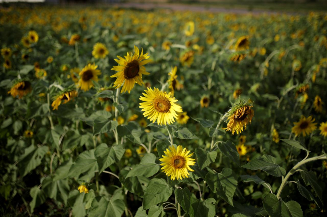 Украина завершила сбор урожая подсолнечника /REUTERS