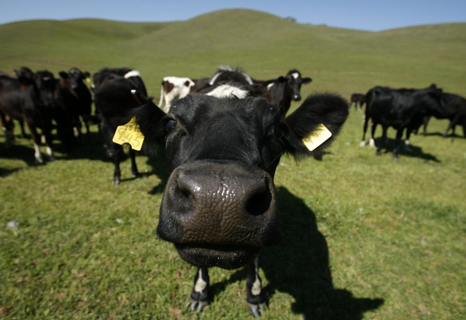 Коровам нравится живое общение с людьми / ФотоREUTERS